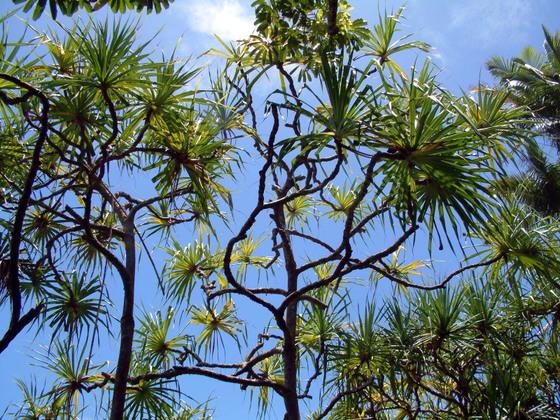 Trees_near_hilo